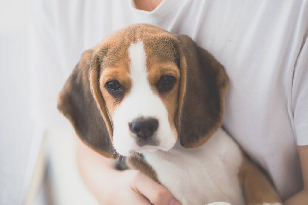 Medium sized Beagle breed