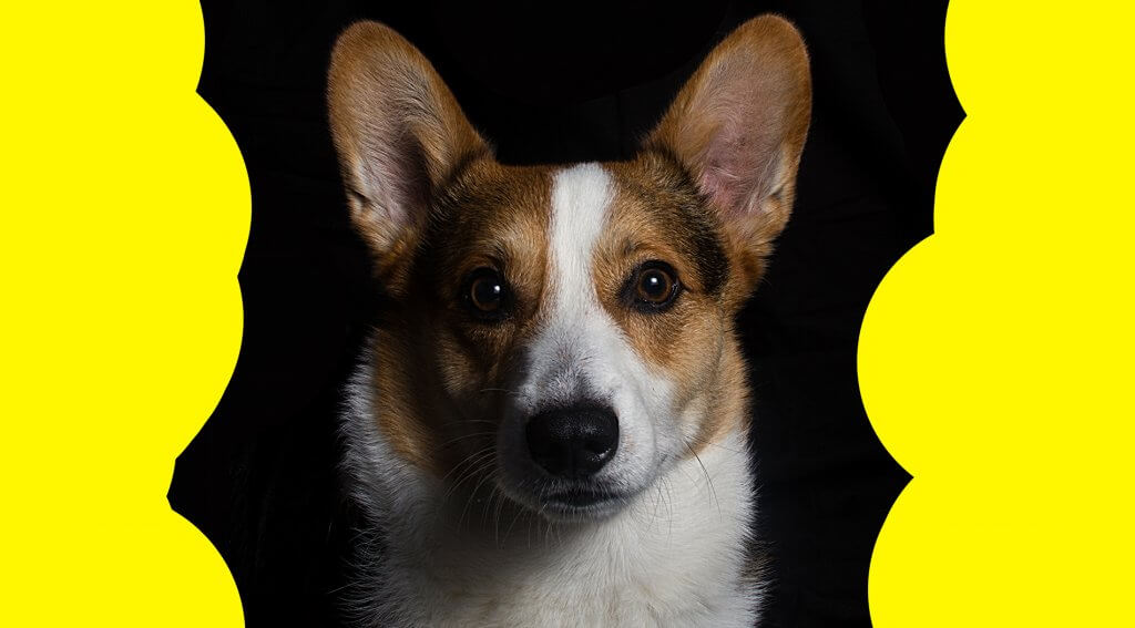 Pembroke Corgi, a great dog for elderly and children